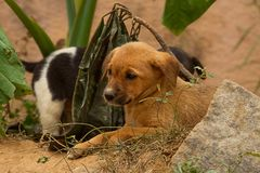 A pair of feral puppies Royalty Free Stock Image