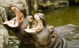 A pair of ferocious African hippos. The hippos opened their mouths waiting for food. A pair of ferocious African hippos. The hippos opened their mouths waiting Stock Images