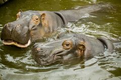 A pair of ferocious African hippos. The hippos opened their mouths waiting for food. A pair of ferocious African hippos. The hippos opened their mouths waiting Stock Photo
