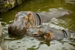 A pair of ferocious African hippos. The hippos opened their mouths waiting for food. A pair of ferocious African hippos. The hippos opened their mouths waiting Stock Image