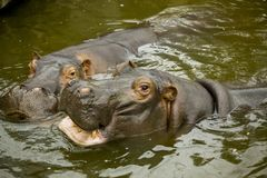 A pair of ferocious African hippos. The hippos opened their mouths waiting for food. A pair of ferocious African hippos. The hippos opened their mouths waiting Royalty Free Stock Photos