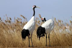 Feathers of red-crowned cranes stock image