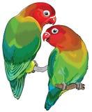 Pair of fischers lovebirds Stock Photos