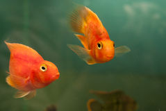 Pair of fish Stock Photography