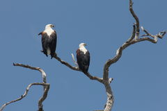 Pair of Fish eagles. Two fish eagles perch on a dead tree in Ruaha National Park Tanzania, in October Royalty Free Stock Photography