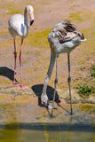 A pair of flamingo. Stand near water resource Royalty Free Stock Photo