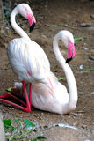 A pair of flamingo Stock Images