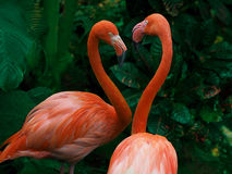 Pair of flamingo courting
