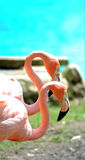 A pair of flamingo's Royalty Free Stock Image