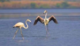 Pair of flamingoes royalty free stock photos