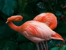 Pair of flamingos Stock Image