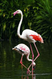 Pair of Flamingos Stock Photo