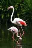 Pair of Flamingos. A pair of Chilean Flamingos Stock Photo