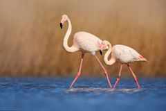 Pair of flamingos. Bird love in blue water. Two animal, walking in lake. Pink big bird Greater Flamingo, Phoenicopterus ruber, in stock photo