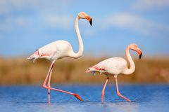 Pair of flamingos. Bird love in blue water. Two animal, walking in lake. Pink big bird Greater Flamingo, Phoenicopterus ruber, in. Camagrue, France Stock Photos