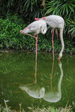 Pair of Flamingos Stock Photo