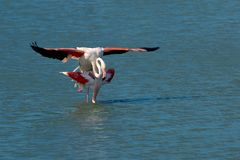 A pair of flamingos matting Royalty Free Stock Image