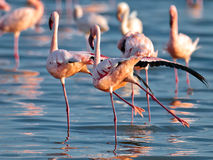 Pair flamingos sipping their paws Royalty Free Stock Photos