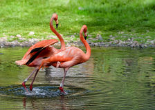 Pair of flamingos stand in a pond. American flamingo. Lanscape for poster. Horizontal stock photo