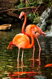 Two posing Flamingos Stock Image
