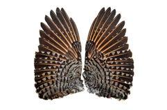 Pair of Flicker bird upper wings stock photography