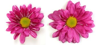 Pair of flowers Royalty Free Stock Image