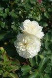 Pair of flowers of white rose. Pair of flowers of white garden rose stock photo