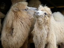Fluffy Camels having some intimacy. A pair of fluffy camels look like they& x27;re kissing Stock Images