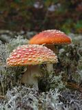 Pair of fly amanita Royalty Free Stock Photos