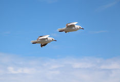Pair Flying. Pair of sea gulls riding the winds Royalty Free Stock Images