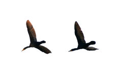 Pair of flying cormorants. Over white background stock photography