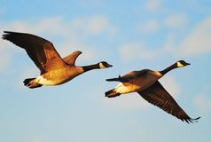 Pair of flying geese Royalty Free Stock Photo