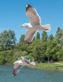 Pair of flying gulls Stock Images