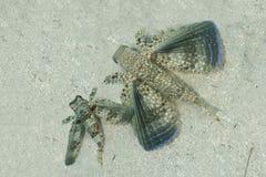 Pair of Flying Gurnards Resting on a Sandy Bottom - Bonaire Royalty Free Stock Photo