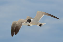 Pair of Flying Laughing Gulls Flying in Tandem Stock Photo