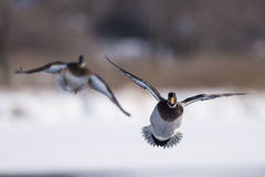 Pair of flying Mallard ducks. A pair of Mallard ducks on a cold winter day Stock Photos