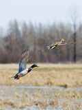 Pair Of Flying Mallards. That just took off from a wetland Royalty Free Stock Photography