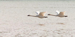 Pair of flying Trumpeter Swans Cygnus buccinator Royalty Free Stock Images