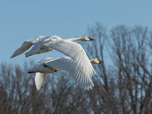 Pair of Flying Swans Royalty Free Stock Photo
