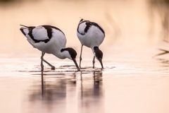 Pair of foraging pied avocet  in morning light Stock Images