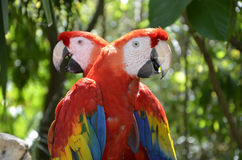 Pair of Forest Scarlet Macaws Stock Photography