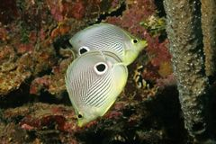 Pair of Four-eye Butterflyfish Stock Photos