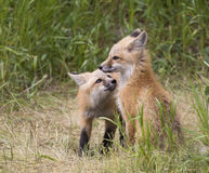 Pair of fox kits in grass Stock Image