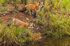 Pair of Fox Vulpes vulpes Look Right Over Water. Captive animals Royalty Free Stock Photo