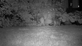 Pair of foxes in house garden. Pair of foxes in house garden in urban house garden at night with infra red camera stock video footage