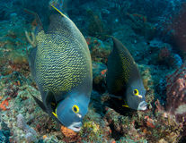 Pair of French Angelfish. A pair of French Angelfish swimming over a reef in Palm Beach County Florida Royalty Free Stock Image