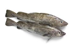 Pair of fresh raw cod fishes stock photography