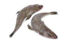 Pair of fresh raw flathead fishes. Pair of fresh raw dusky flathead fishes on white background Royalty Free Stock Image