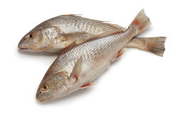 Pair of fresh raw koebi fishes. On white background Stock Photo