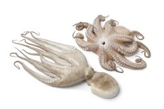 Pair of fresh raw octopus Stock Images